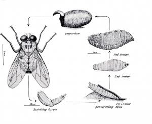 Tumbu Fly
